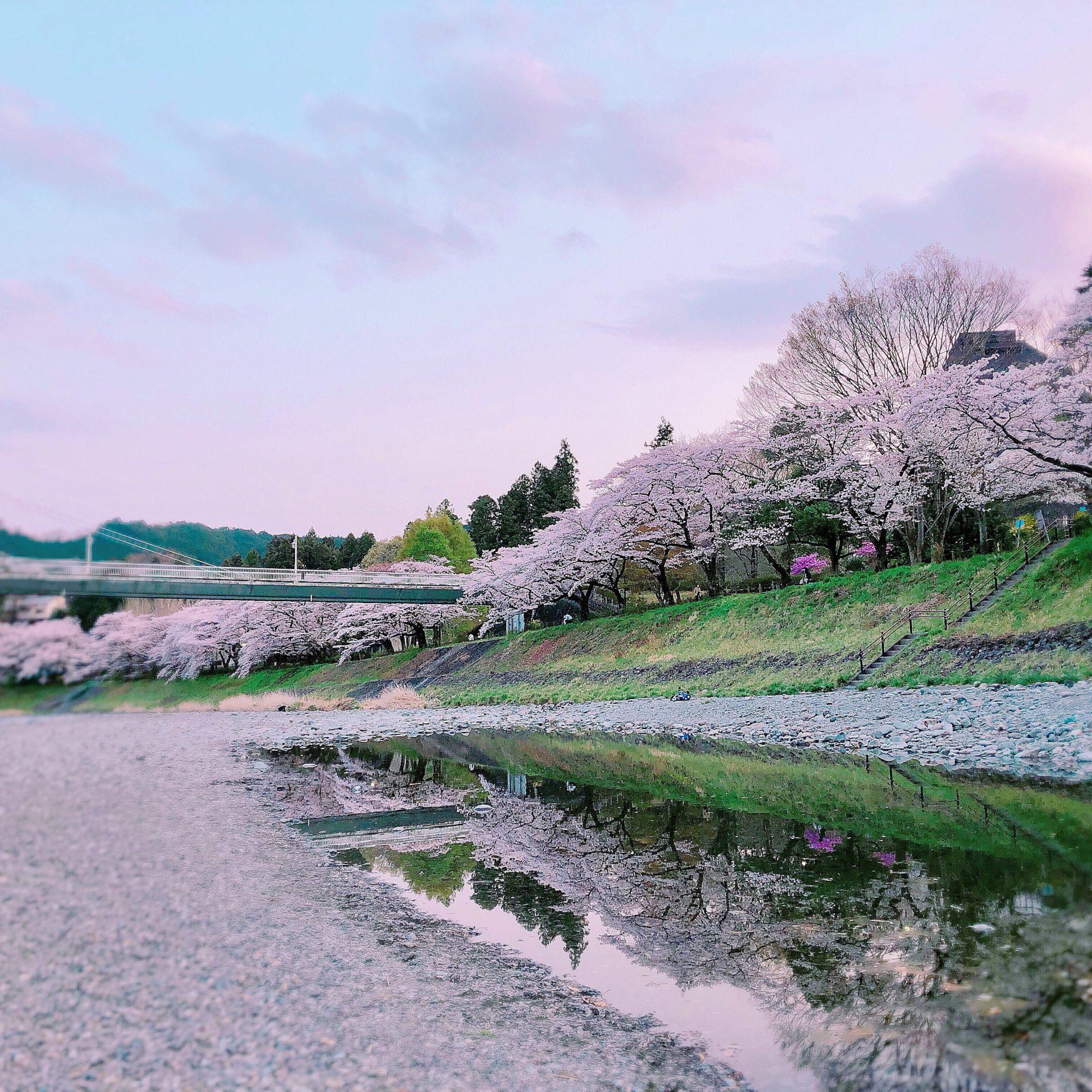 釜ヶ淵公園の桜並木