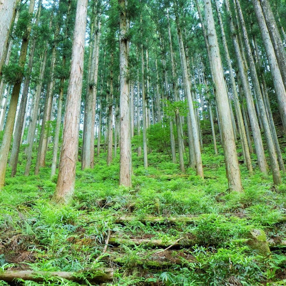 青梅の杉林