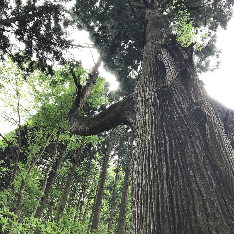 奥の院の入り口にある天狗の腰かけ杉
