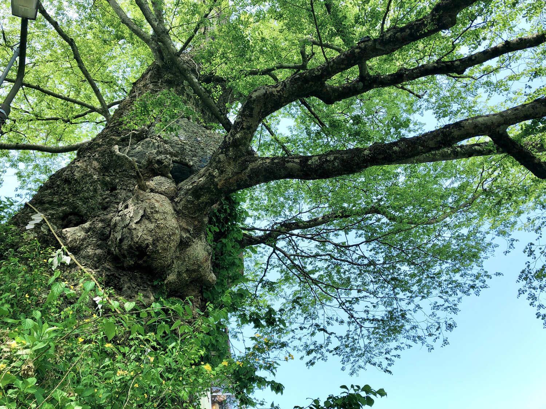 樹齢1000年以上といわれる神代ケヤキ